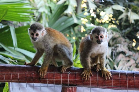 Pura Vida Hostel - Manuel Antonio: Monkey came to visit in the social area