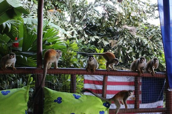 Pura Vida Hostel - Manuel Antonio: Monkeys, monkeys everywhere