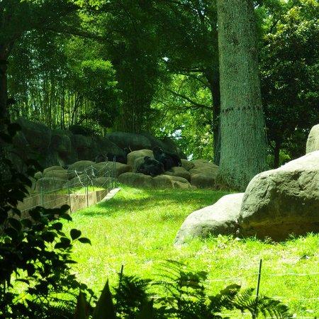 Zoo Atlanta: Gorillas