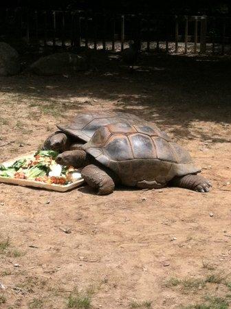 Zoo Atlanta: Giant turtles