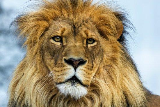 male lion picture of rosamond gifford zoo syracuse tripadvisor