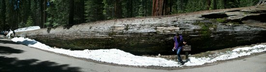 Mariposa Grove of Giant Sequoias: Yosemite3