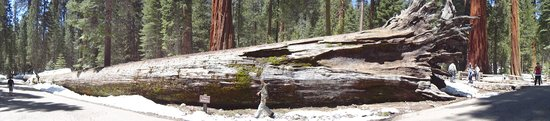 Mariposa Grove of Giant Sequoias: Yosemite5