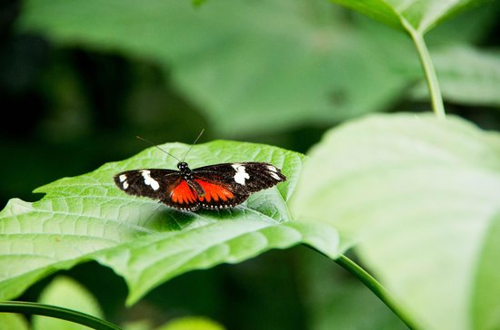 Butterfly Conservatory: Doris Longwing