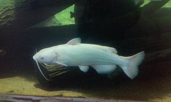 Go Fish Education Center: Albino catfish
