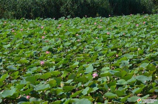 Lotus Valley: Лотосы