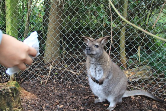 Willowbank Wildlife Reserve: Feeding a wallaby