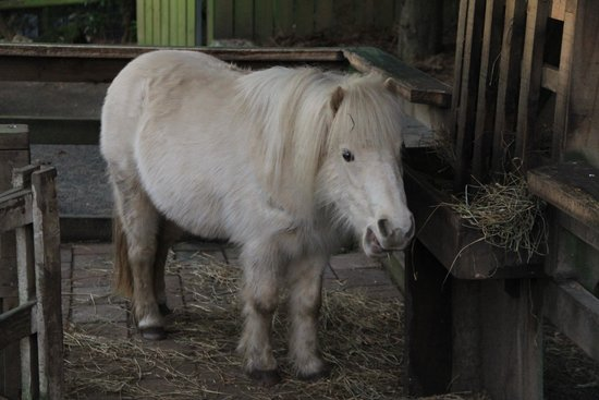 Willowbank Wildlife Reserve: Miniature horse