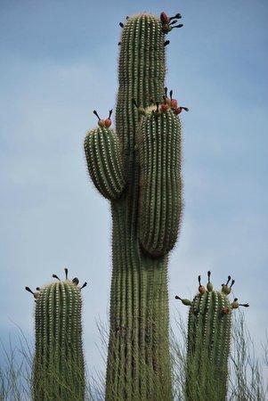 Cabeza Prieta National Wildlife Refuge: Blooming Saguaro