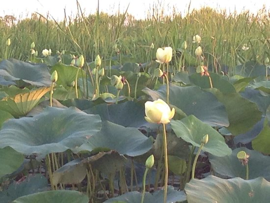 Airboat Express - Tours: Lotus flowers in the Delta.