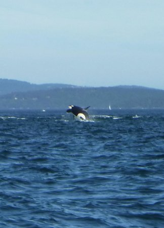 Deer Harbor Charters: Orca!