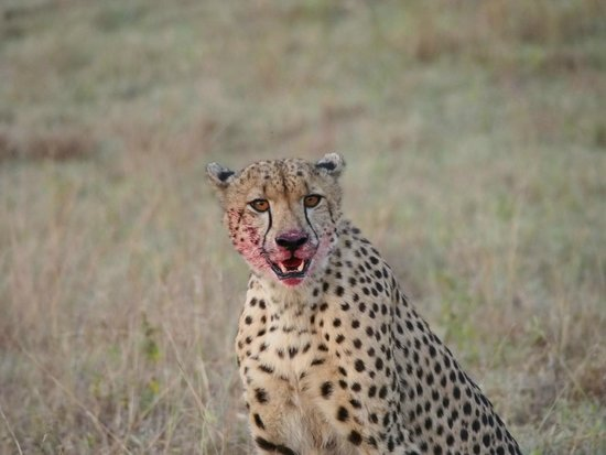 Savanna Private Game Reserve: Cheetah just after a kill (Savanna)