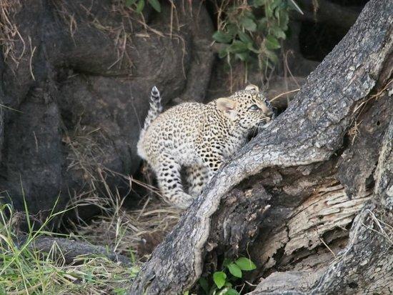 Savanna Private Game Reserve: Leopard cub, Sabi Sands (Savanna)