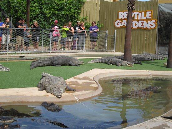 Reptile Gardens: Alligators on the wait