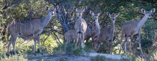 Dinaka Safari Lodge: Curious Kudu