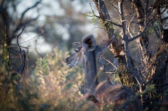 Dinaka Safari Lodge: Kudu browsing