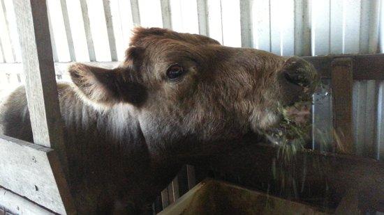 Clandulla Cottages, Beaudesert: farm moo-moo cow