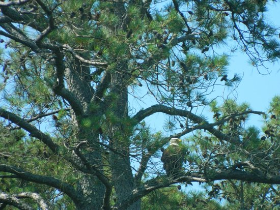 Spider's Explorer: Bald Eagle in the tree