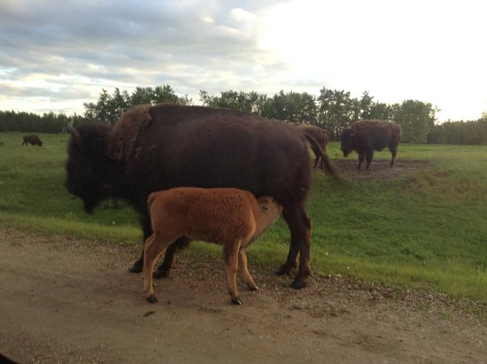Elk Island National Park: a mother and child