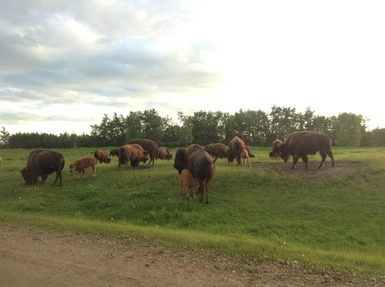 Elk Island National Park: roaming and grazing