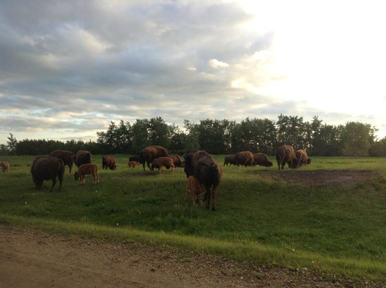 Elk Island National Park: a family of bisons