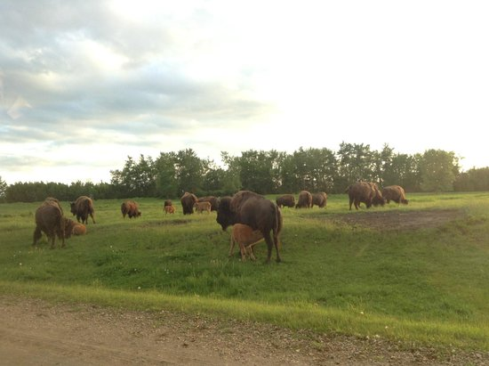 Elk Island National Park: first time saw so many bisons