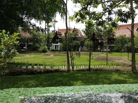 The Dhara Dhevi Chiang Mai : View of rice paddies from villa plunge pool.
