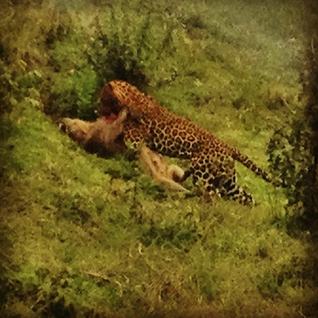 The Ark: Aberdare National Park, leopard taking a warthog
