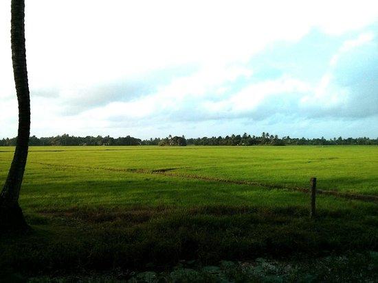 Riverine Resort : Paddy fields behind the resort !!