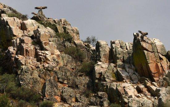Monfrague National Park: Gli avvoltoi con le ali spiegate.