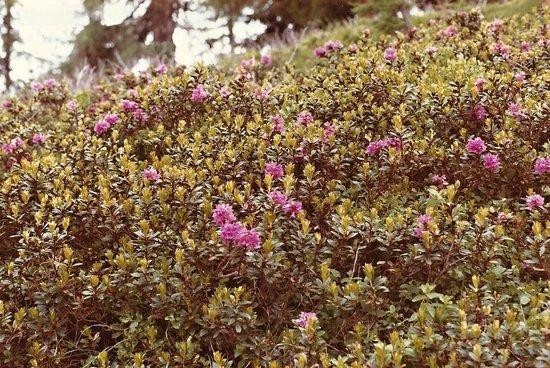 Nockberge: Alpenrosen im Nockgebiet -1-