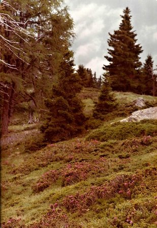 Nockberge: Alpenrosen im Nockgebiet -2-