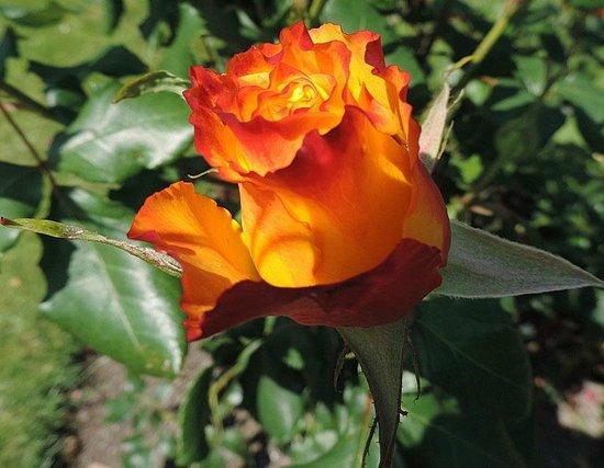 National Botanic Gardens : In the Rose Garden