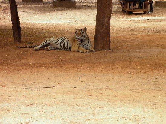 Tiger Temple Thailand Tour: Tiger