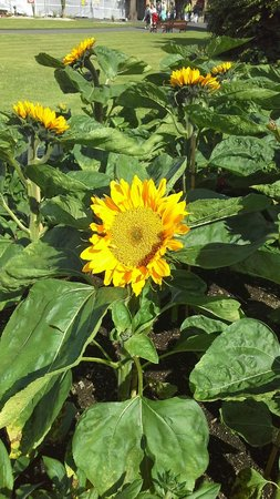 National Botanic Gardens: Beautiful Sunflower