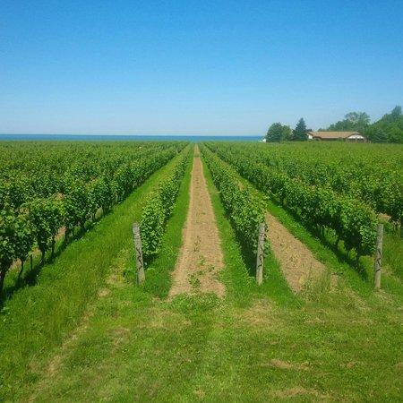 Konzelmann Estate Winery: Vineyard on Lake Ontario