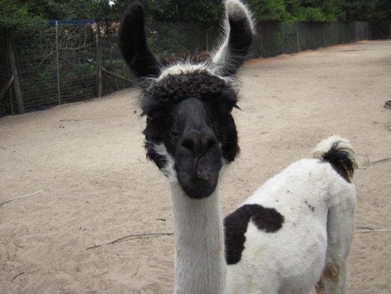 Emerald Coast Wildlife Refuge Zoological Park: Llama