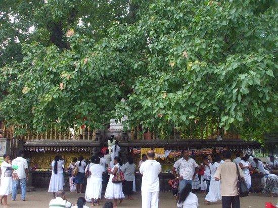 Kelaniya Raja Maha Vihara: 菩提樹