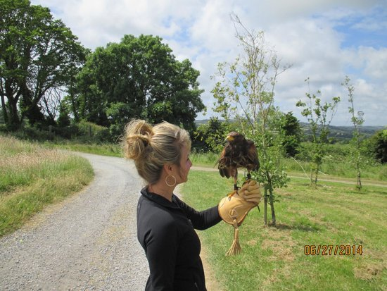 Dublin Falconry: Robin- Harris Hawk
