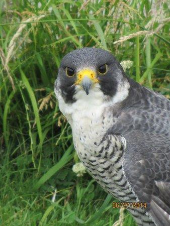 Dublin Falconry: Peregrin Falcon
