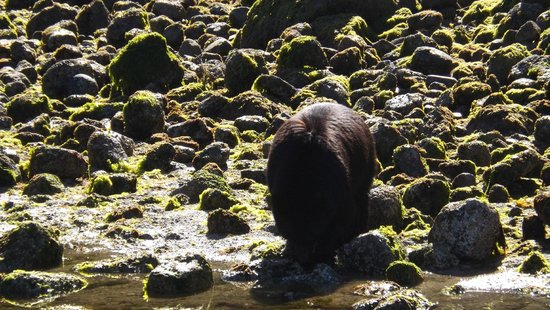 Browning Pass Charters: Bear looking for crabs