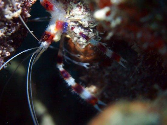 Conch Republic Divers: Banded Shrimp