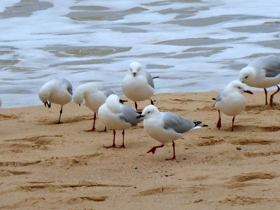 Manly Scenic Walkway: birds on the beach
