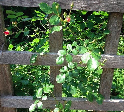 Morning Glory Inn : The roses have become very attached to the entry arbor.