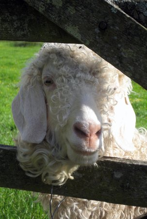 Crookabeck Bed & Breakfast: One of Mary's angora goats