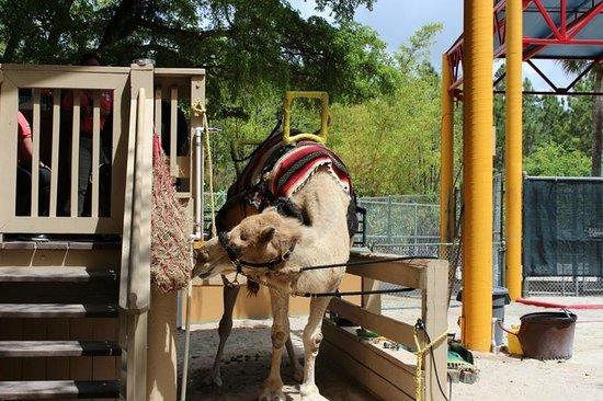 Zoo Miami: Dar uma volta no camelo