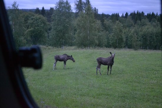 Wild Sweden - Day Tours: Moose seen from the van, up close and personal!
