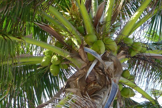 Tranquility Bay Resort: fresh coconuts