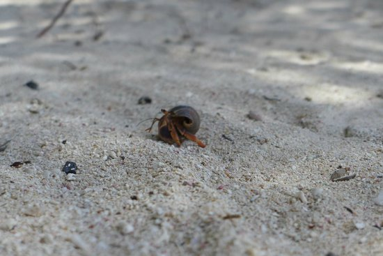 Tranquility Bay Resort: Lots of hermit crabs