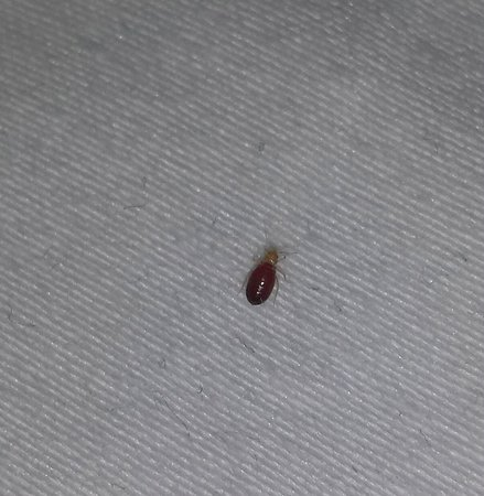 Essington, Pensilvania: Bedbug on the sheets
